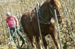 Delas, mann og hest blant vinranker, foto