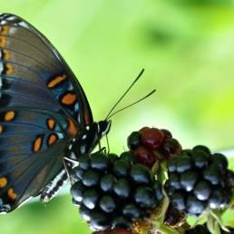Camparo sommerfugl foto